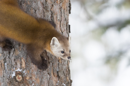 Pine marten Martes americana climbing down tree in Algonquin Park in winter
