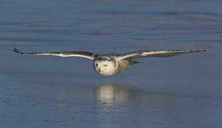 Schneeeule (Bubo scandiacus) niedrig fliegend und über einem Eis bedeckten Feld in Kanada jagend