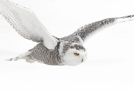Snowy owl (Bubo scandiacus) flying low and hunting over a snow covered field in Canada