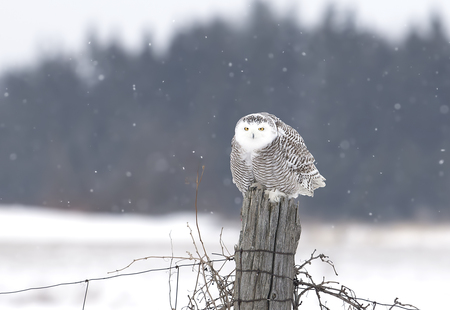Snowy owl (Bubo scandiacus) perched on a post hunting over a snow covered field in Canada Stockfoto