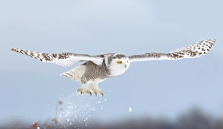 Snowy owl (Bubo scandiacus) taking off to hunt over a snow covered field in Canada