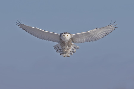 Snowy owl (Bubo scandiacus) flies low hunting over an open snowy field in Canada