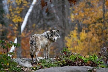 Holzwolf, der auf einer felsigen Klippe steht, die im Herbst zurückblickt