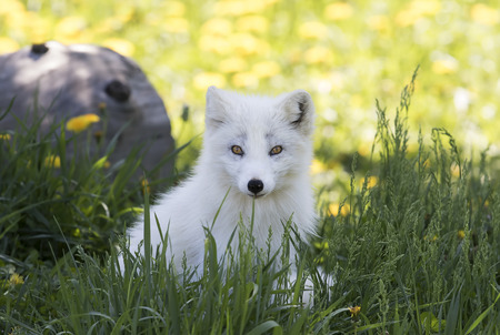 Arctic fox kit (Vulpes lagopus) in the grass Stok Fotoğraf
