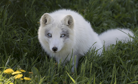 Arctic fox (Vulpes lagopus) in the grass