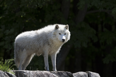Arctic wolf (Canis lupus arctos) standing on a rocky cliff in spring in Canada