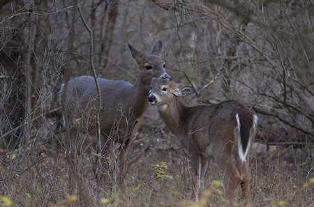 White-tailed deer and fawn standing in a meadow in autumn rut in Canada