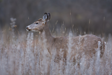 White-tailed deer standing in a meadow in autumn rut in Canada