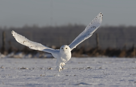 Male Snowy owl (Bubo scandiacus) flies low hunting over an open sunny snowy cornfield in Ottawa, Canada Stockfoto