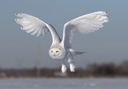 Male Snowy owl (Bubo scandiacus) flies low hunting over an open sunny snowy cornfield in Ottawa, Canada Stock fotó