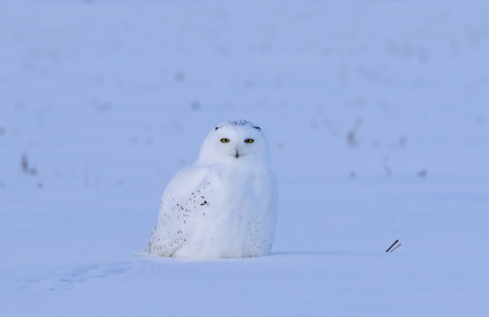 Male Snowy owl (Bubo scandiacus) sitting in a early morning snow covered cornfield in winter in Ottawa, Canada