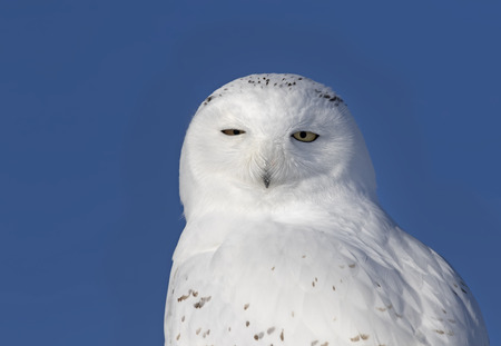 Male Snowy owl (Bubo scandiacus) closeup and isolated against a blue background perched on a wooden post in winter in Ottawa, Canada Stock Photo