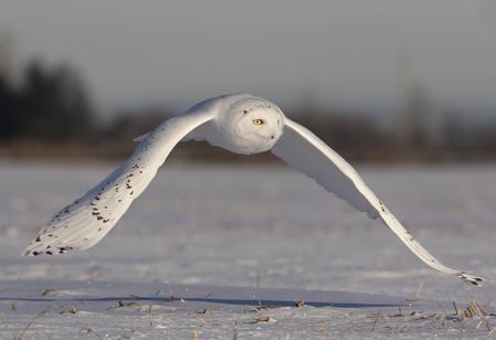 Männliche Schneeeule (Bubo scandiacus) fliegt niedrig auf der Jagd über ein offenes sonniges schneebedecktes Maisfeld in Ottawa, Kanada