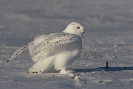Male Snowy owl (Bubo scandiacus) sitting in a sunny snow covered cornfield in winter in Ottawa, Canada