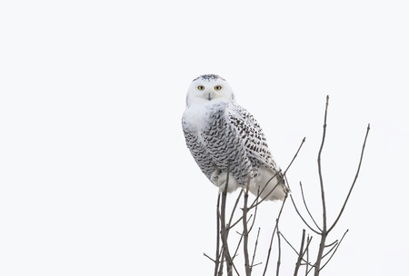 Snowy owl (Bubo scandiacus) isolated against a white background perched on top of a tree in winter in Ottawa, Canada