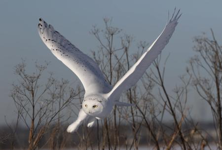 Male Snowy owl (Bubo scandiacus) flies low hunting over an open sunny snowy cornfield in Ottawa, Canada Stok Fotoğraf