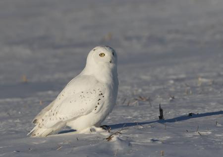Male Snowy owl (Bubo scandiacus) sitting in a sunny snow covered cornfield in winter in Ottawa, Canada