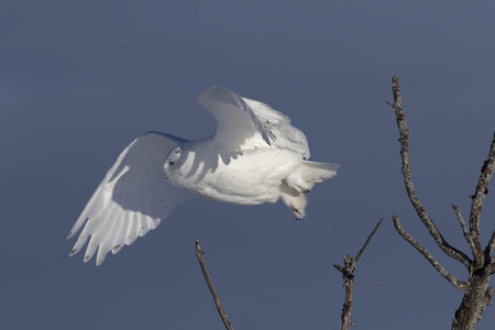 Male Snowy owl (Bubo scandiacus) isolated against a blue background taking off in winter in Ottawa, Canada
