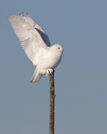 Male Snowy owl (Bubo scandiacus) isolated against a blue background perched on top of a tree in winter in Ottawa, Canada
