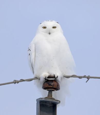 Male Snowy owl (Bubo scandiacus) isolated on blue background perched on a hydro pole in winter in Ottawa, Canada