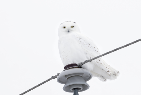 Male Snowy owl (Bubo scandiacus) isolated on white background perched on a hydro pole in winter in Ottawa, Canada Stok Fotoğraf