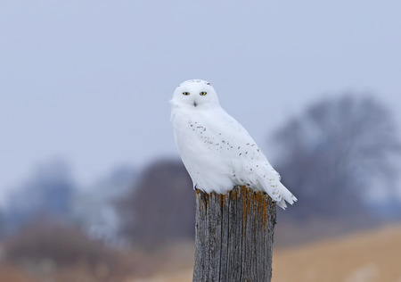 Male Snowy owl (Bubo scandiacus) perched on a wooden post in winter in Ottawa, Canada