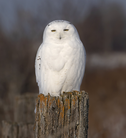 Male Snowy owl (Bubo scandiacus) perched on a wooden post at sunset in winter in Ottawa, Canada