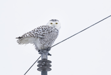 Snowy owl (Bubo scandiacus) isolated on white background perched on a post in winter in Ottawa, Canada Stok Fotoğraf