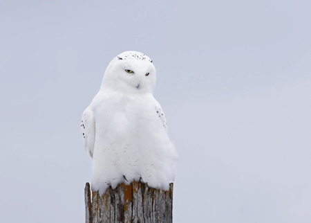 Male Snowy owl (Bubo scandiacus) isolated against a blue background perched on a wooden post in winter in Ottawa, Canada