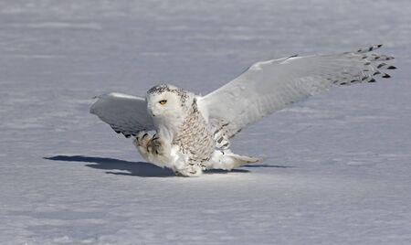 Snowy owl (Bubo scandiacus) female with talons out prepares to pounce on its prey on a snow covered field in Ottawa, Canada Standard-Bild