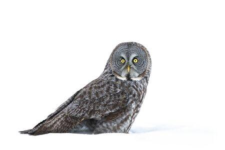 Great grey owl sitting in an open snowy field in winter in Canada