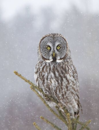 Portrait of Great grey owl, Strix nebulosa perched in a tree hunting in Canada