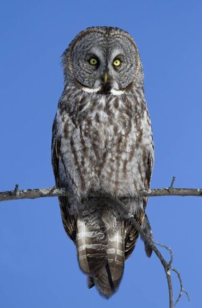Great grey owl, Strix nebulosa isolated against a blue background perched in a tree hunting in Canada