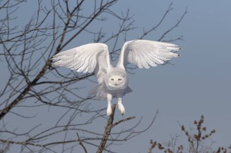 Snowy owl (Bubo scandiacus) male flies low hunting over an open sunny snowy cornfield in Ottawa, Canada Stockfoto