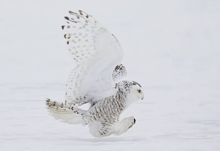 Snowy owl (Bubo scandiacus) closeup isolated on white background about to pounce on its prey on a snow covered field in Ottawa, Canada