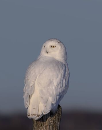 Snowy owl (Bubo scandiacus) male perched on a wooden post at sunset in winter in Ottawa, Canada