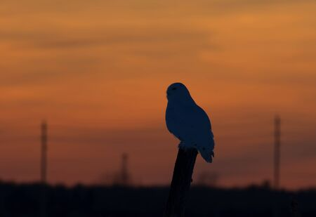 Snowy owl hunting at sunset Standard-Bild