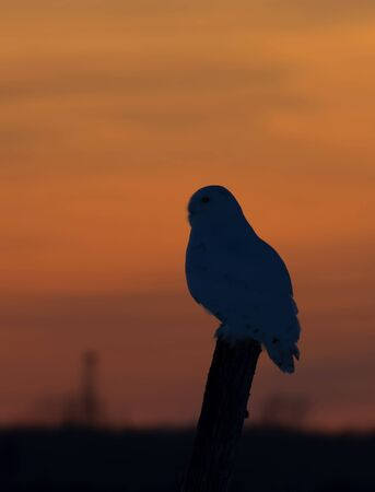 Snowy owl hunting at sunset Stockfoto