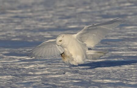 Snowy owl (Bubo scandiacus) male with talons out prepares to pounce on its prey on a snow covered field in Ottawa, Canada Stock Photo