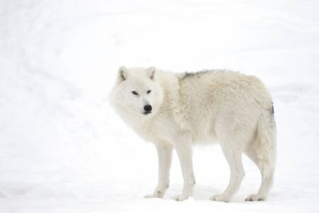 Arctische wolf geïsoleerd op een witte achtergrond wandelen in de wintersneeuw in Canada