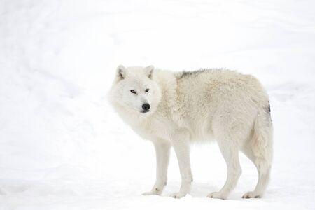 Lupo artico isolato su sfondo bianco che cammina nella neve invernale in Canada
