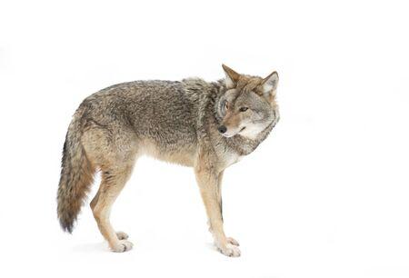 Ein einsamer Kojote Canis Latrans isoliert auf weißem Hintergrund beim Wandern und Jagen im Winterschnee in Kanada Standard-Bild