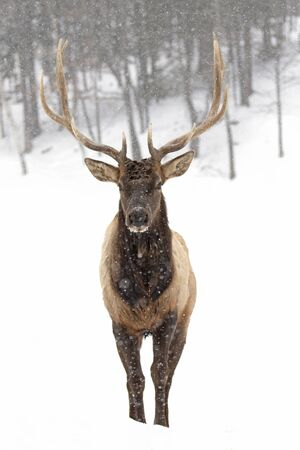 Bull Elk isolated against a white background walking in the winter snow in Canada