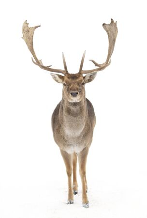 Fallow deer (Dama dama) with large antlers isolated on white background walking through the winter snow in Canada