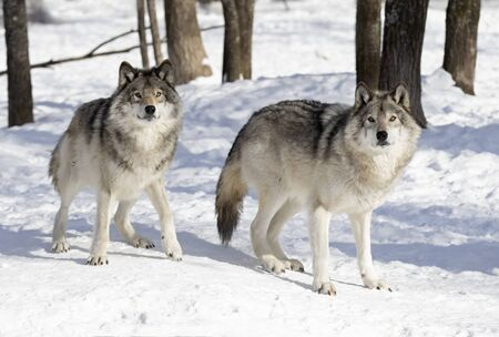 Two Timber wolves or grey wolves Canis lupus standing in the winter snow in Canada