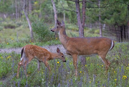 Weißwedelhirsche und Rehkitz teilen sich einen zärtlichen Moment im Wald in Ottawa, Kanada