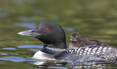 Common Loon (Gavia immer) swimming with chick on her back on Lake, Que, Canada