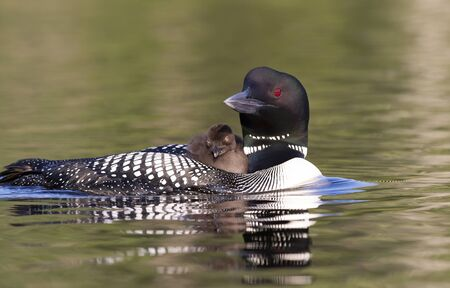 Common Loon (Gavia immer) swimming with chick on her back on Wilson Lake, Que, Canada Imagens