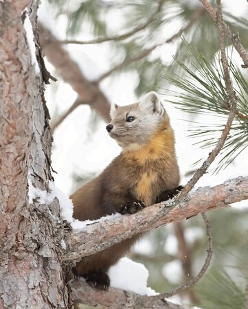 Pine marten on a snow covered tree branch in Algonquin Park, Canada Stockfoto