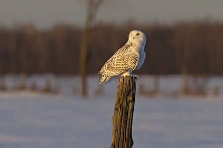 Snowy owl Bubo scandiacus perched on a post at sunset hunting in winter in Ottawa, Canada
